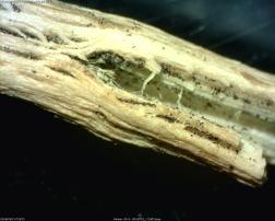 Sclerotia in tissue