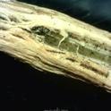 Microsclerotia in crop residue