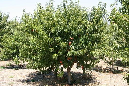 peacch tree 1