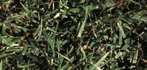 tall%20fescue[1] for A Garden Runs Through It - UCCE Master Gardeners of Colusa County Blog