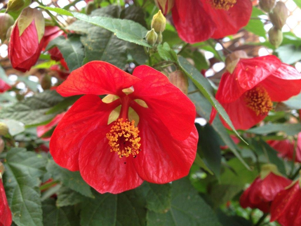 Picture of Live Flowering Maple aka Abutilon Red  Plant Fit 1QRT Pot