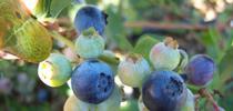 Blueberry for A Garden Runs Through It - UCCE Master Gardeners of Colusa County Blog