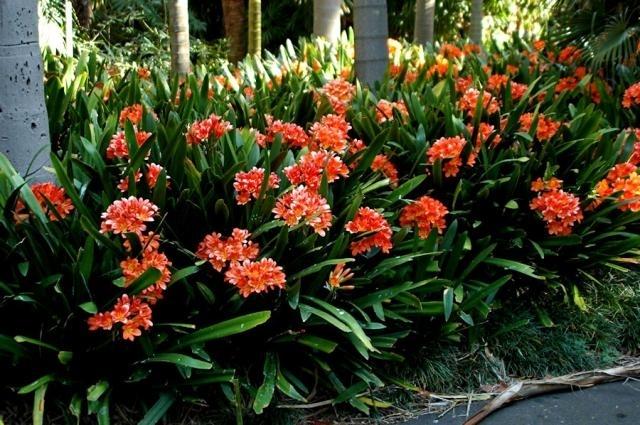 Clivia Miniata Kieffer Lily A Garden Runs Through It