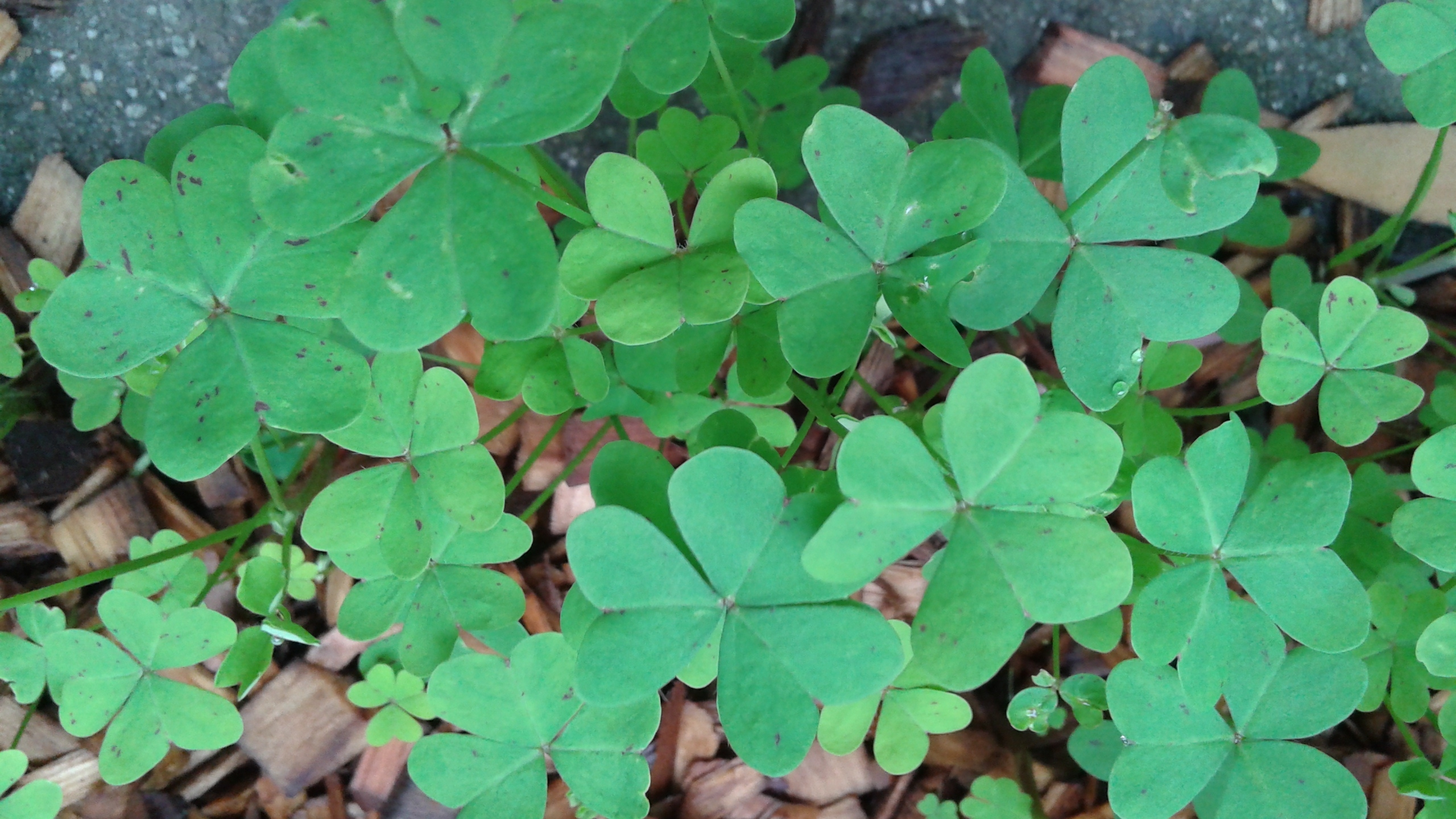 Thank You So Much For Sending The Excellent Photos Of Your Yard And Weeds They Were Valuable In Identifying Clover Like Plant As Bermuda Ercup