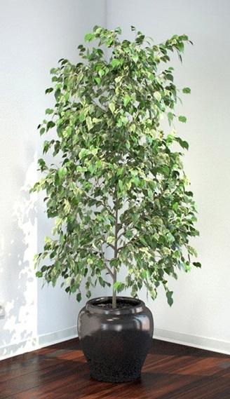 Those Finicky Ficus!!! - HOrT COCO-UC Master Gardener Program of ...