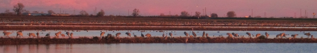 Sandhill Cranes -- big thanks to Mike at SOScranes.org and the Cosumnes River Preserve