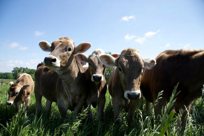 gilbertblog cows