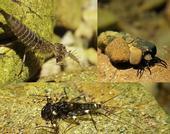 Beetle larvae, caddisflies, and mayflies at John West Fork in Golden Gate National Recreation Area, California. Photo by Michael Bogan.