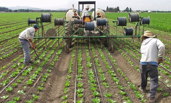 Drip irrigation lines being installed for lettuce in the Salinas Valley, California. Photo courtesy of Tim Hartz.