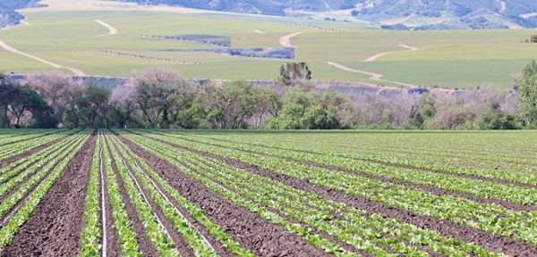 Drip irrigation conversion is widespread in the Salinas Valley. Photo courtesy of Mike Cahn.