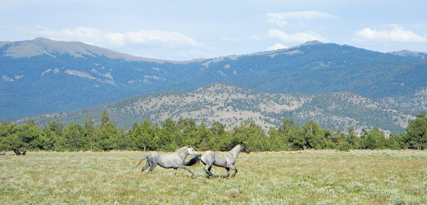 Wild horses, Modoc National Forest. Photo by Laura Snell.