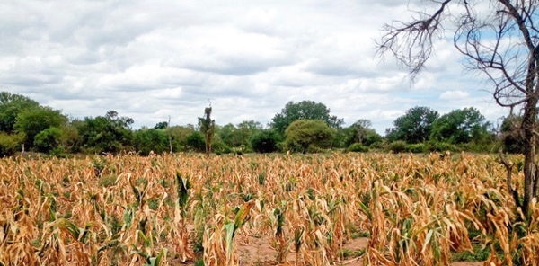 Corn wilts on a farm in Mozambique. Photo by FEWS NET.