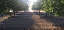 The same almond orchard as above, but at harvest time. Photo by Katherine Jarvis-Shean. for The Confluence Blog