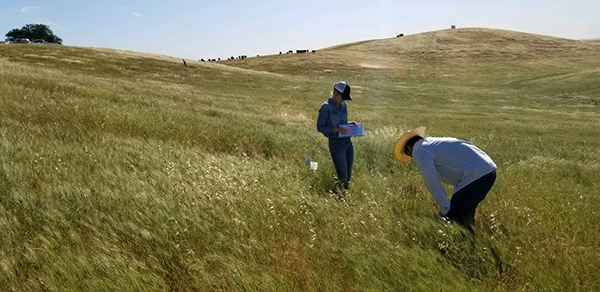 Woodsmansee conducting field work at Yanci Ranch, Yolo County CA. Photo by Julea Shaw.