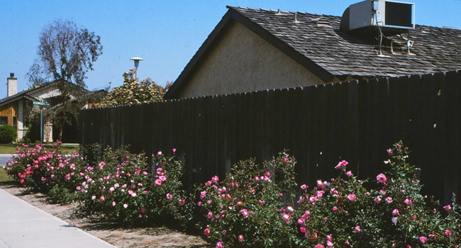 Replacement of turf with landscape (shrub) roses. Such plant replacements for water conservation are only effective if the water applied through irrigation is reduced. Photo by John Karlik.