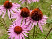 Honeybee on Echinacea (purpurea), Wiki Creative Commons