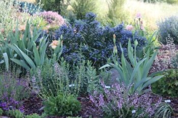 Iris, heuchera, salvias and ceanothus.