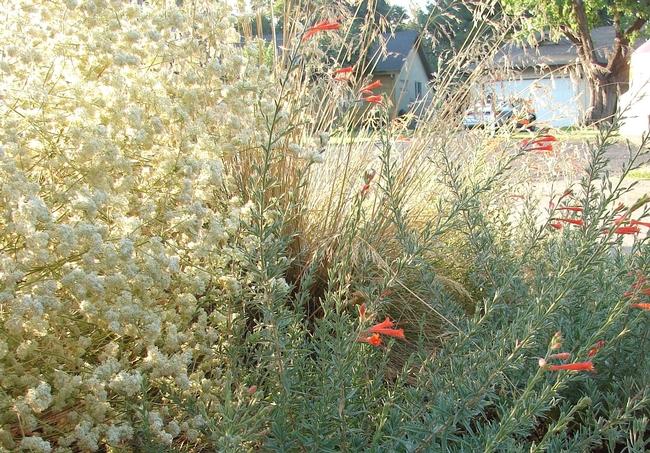 CA Fuchsia, CA Buckwheat by E. Werner