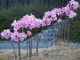 Amaryllis belladonna in bloom.