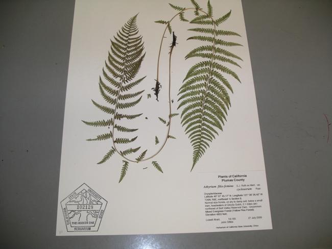 Herbarium specimen, Cindy Weiner