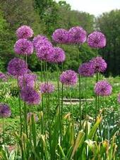 Allium, Wikipedia Commons