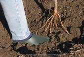Planting a bare-root fruit tree, UC ANR