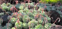 Echeveria elegans for The Real Dirt Blog Blog