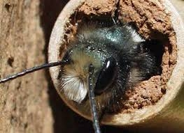 mason bees the real dirt blog anr blogs