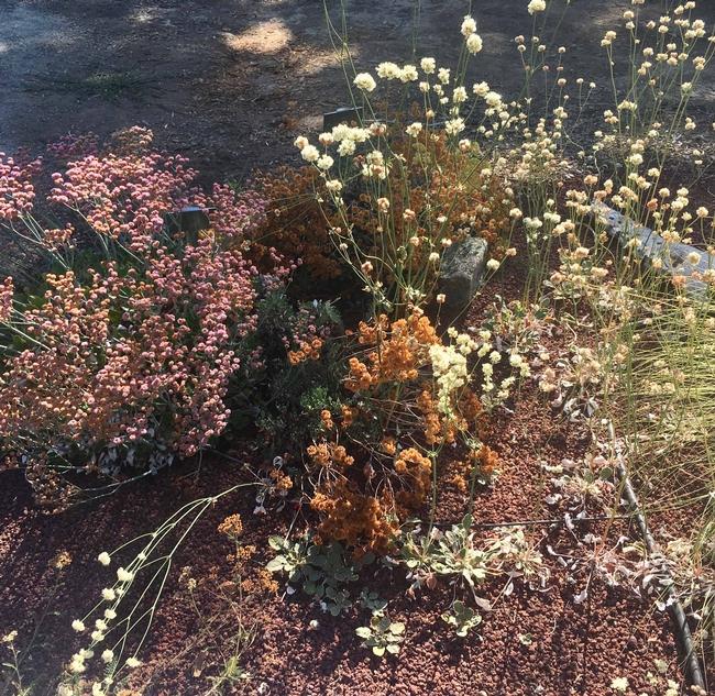 CA Native Plant Garden, native buckwheats by A Springer