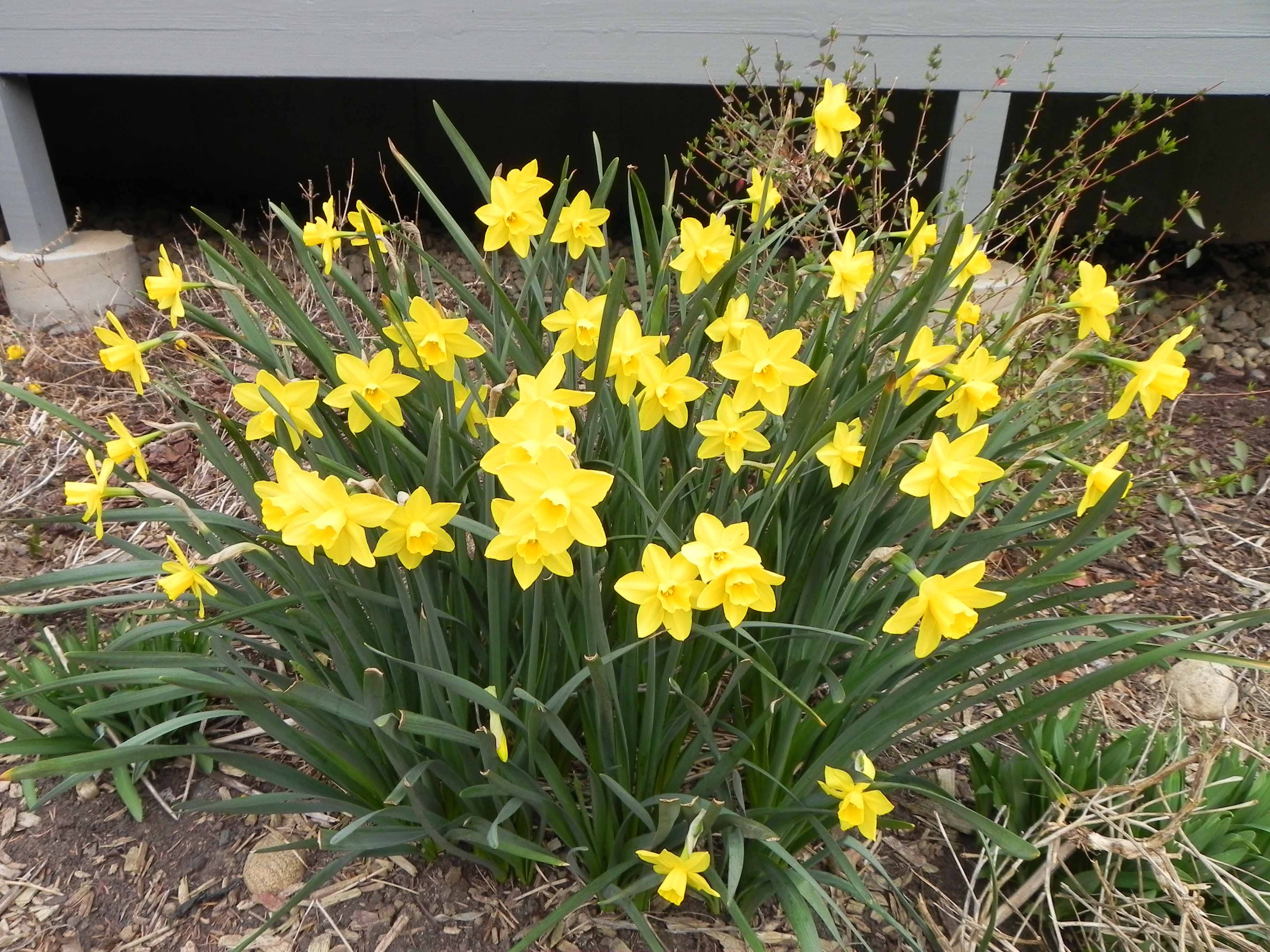 Daffodils From January To April The Real Dirt Blog Anr Blogs