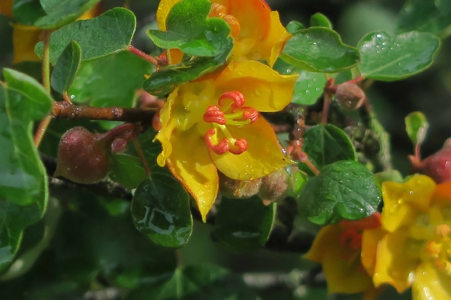 California Flannelbush flowers