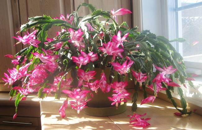 Christmas Cactus, Wikipedia Commons