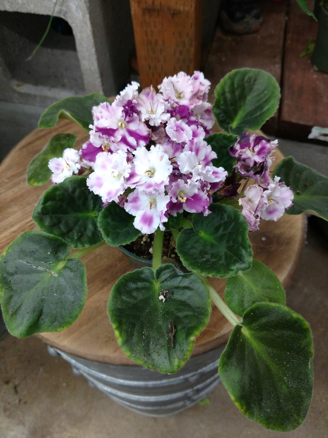 African Violet by E. Warne