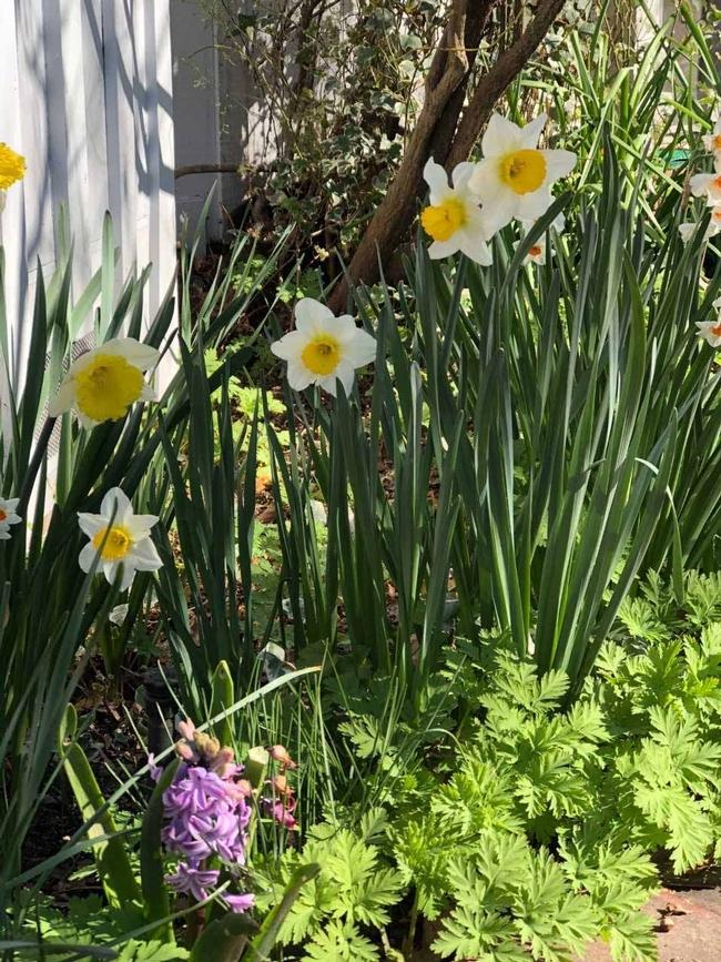 Early spring daffodill, corydalis, hyacinth, Wendy Brown