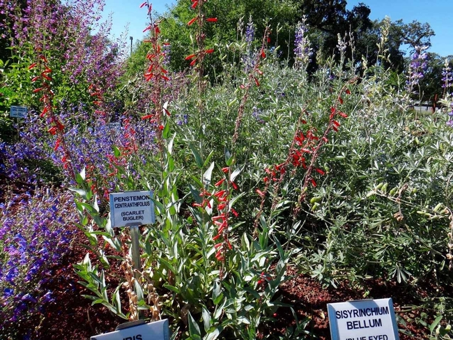 Scarlet bugler and foothill penstemons by B. McGhie
