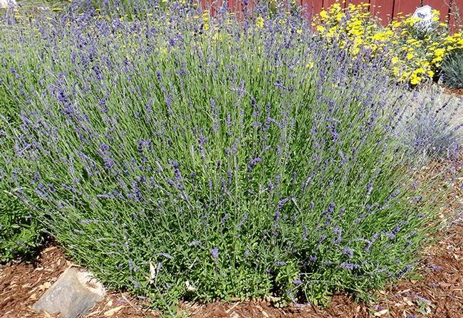 English lavender 'Hidcote' (lavandula 'Hidcote'), B. McGhie