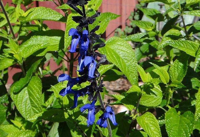 Black and Blue Sage (Salvia guaranitica), B. McGhie