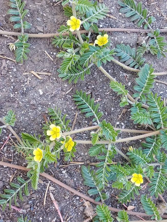 Puncturevine flowers, J. Alosi