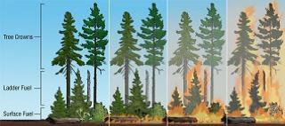 Fuel ladder, US Forest Service