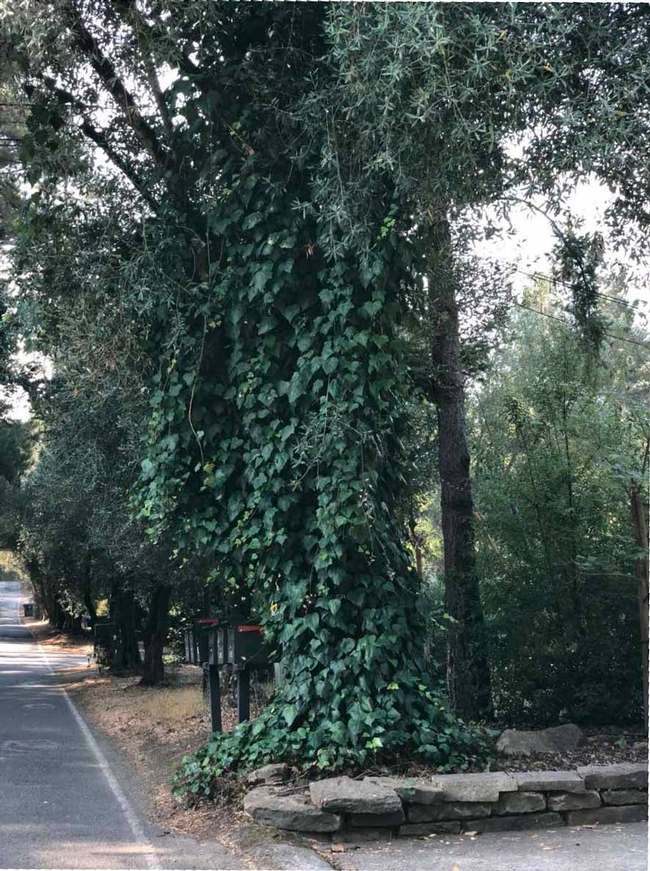 Remove ivy on trees, Master Gardeners of Sonoma County