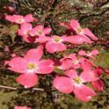 Cornus florida closeup of pink flower by Famartin