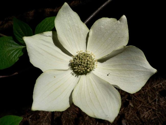Cornus nuttallii-closeup of flower, Walter Siegmund