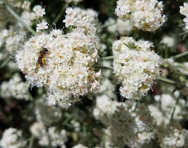 Bee on California buckwheat, J. Alosi