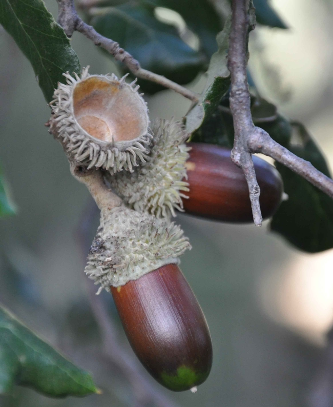 Cork oak acorns by Xemenendura