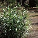 Johnsongrass mature plant, UC ANR