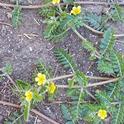 Puncturevine flowers, J Alosi