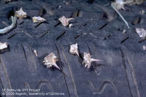 Dried puncturevine spikes in tires, UC ANR