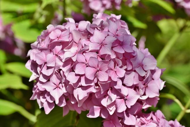 Alkaline soils produce pink hydrangea flowers
