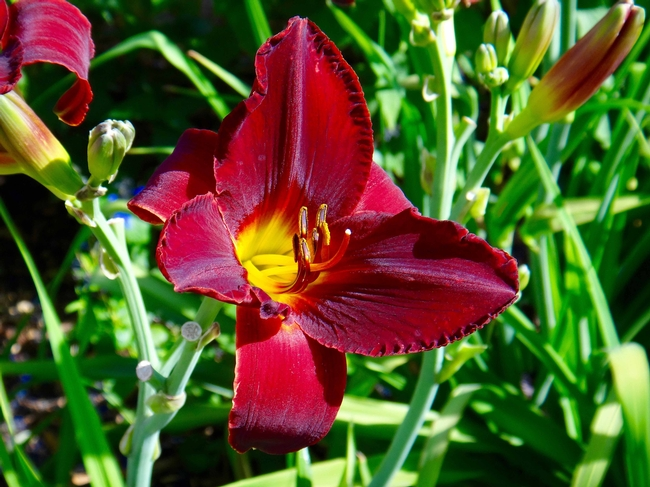 Daylily by Brent McGhie