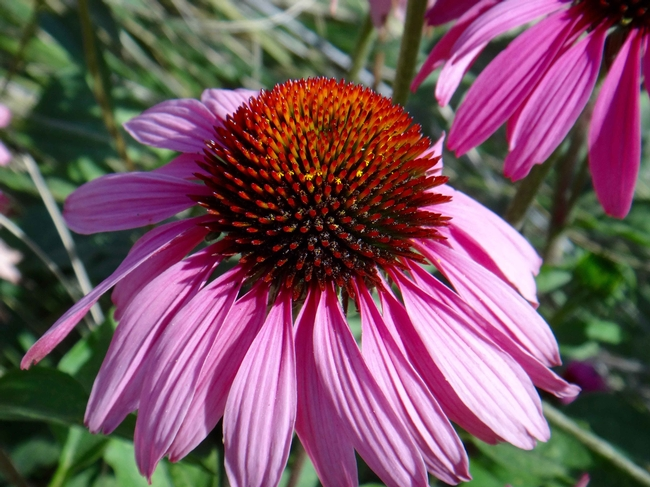 Coneflower by Brent McGhie